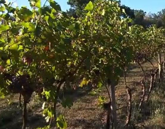 vineyard in Armagnac