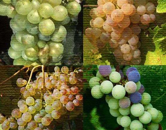 Old-Liqours-Armagnac-Durre-grape
