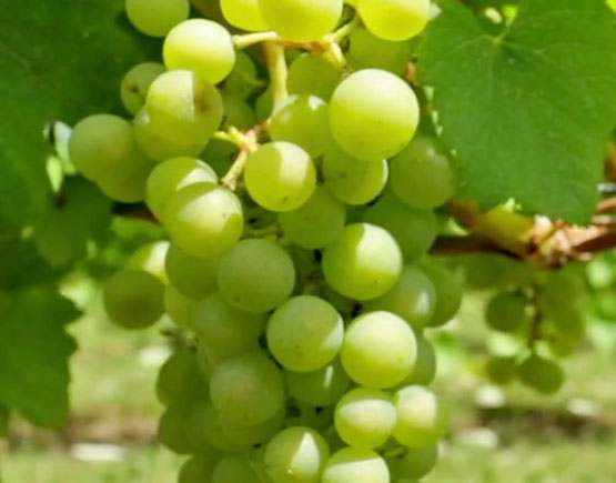 Armagnac-Baron-de-Saint-Feux-white-grapes