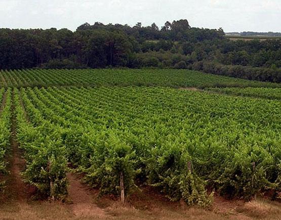 Armagnac-chateau-du-Tariquet-grapeyard