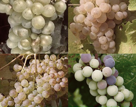 Armagnac-Marquis-de-Caussade-grapes